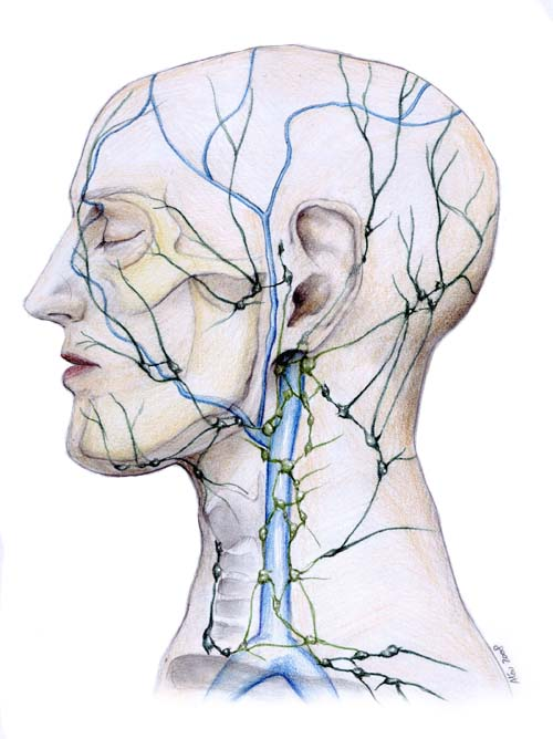 Lymphatic_System_of_Face_by_aljas